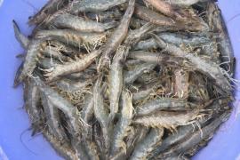 Giá tôm nguyên liệu tại đồng bằng sông Cửu Long ngày 5/04/2020
