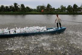 Giá cá tra nguyên liệu giảm