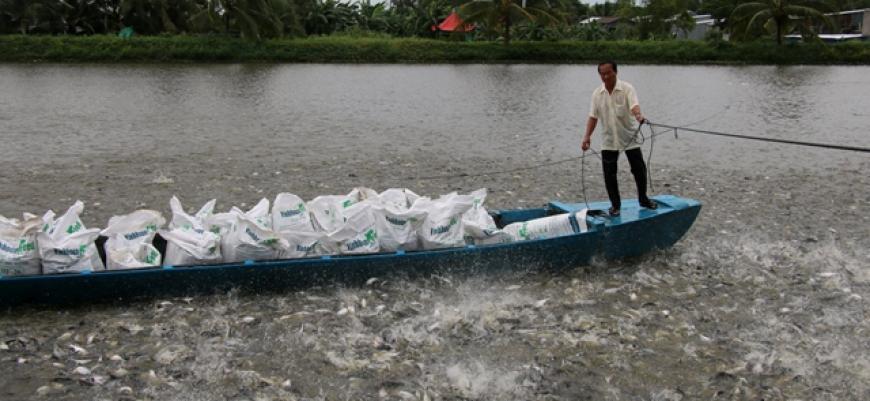 Người nuôi cá tra ở ĐBSCL lỗ nặng