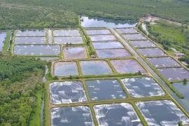 Rabobank: Sản lượng tôm nuôi thế giới năm 2020 có thể giảm ít hơn dự kiến